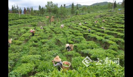 云南永平县拟三年投资2亿元发展高山生态茶
